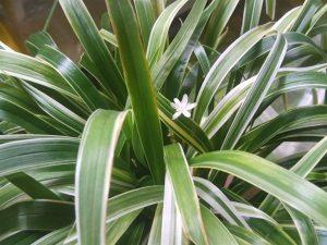 Chlorophytum laxum «Bichetii Grass»