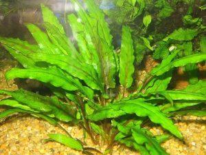 Cryptocoryne wendtii «Green»